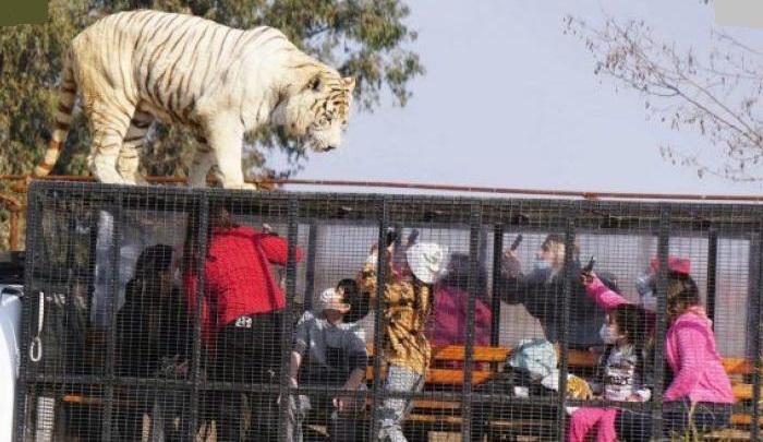 Pegawai Taman Safari Tewas Seketika Diterkam Harimau saat Menyapu Kandang